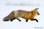 Red Fox <i>(Vulpes vulpes)</i>