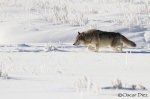 Gray Wolf on the run <i>(Canis lupus occidentalis)</I>