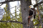 Bald Eagle eating a Trout <i>(Haliaeetus leucocephalus)</i>