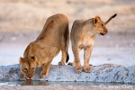 Leone and young lion <i>(Panthera leo)</i>