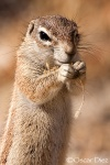 Ground squirrel <i>(Callospermophilus cateralis)</i>