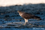 Honey Buzzard <i>(Pernis apivorus)</i>