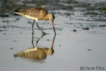 Aguja Colipinta <i>(Limosa lapponica)</i>