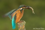 Kingfisher with fattening <i>(Alcedo atthis)</i>