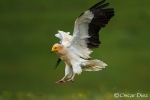 Egyptian Vulture <i>(Neophron percnopterus)</i>