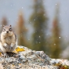 Golden-mantled ground squirrel <i> (Spermophilus laterals) </i>