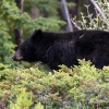 Male black bear <i> (Ursus americanus)</i>