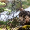 Ruffed Grouse <i>(Bonasa umbellus)</i>
