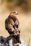 Young Booted Eagle  (Hieraaetus pennatus)