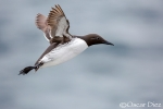 Common murre bridado
