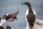 Common murre <i>(Uria aalge)</i>