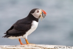 Puffin with fish <i> (Fratercula arctica) </i>