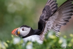 Puffin among flowers
