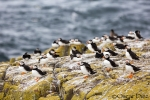 Atlantic Puffin Group <i> (Fratercula arctica)</i>