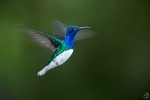 White-necked jacobin male <i>(Florisuga mellivora)</i>