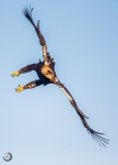Spanish Imperial Eagle in flight<i>(Aquila adalberti)</i>