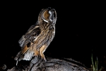 Long-eared owl <i>(Asio otus)</i>