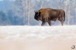 Bisonte europeo macho <i>(Bison bonasus)</i>