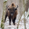 Bisonte europeo <i>(Bison bonasus)</i>