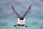 Flight Razorbill <i> (Alca torda) </i>