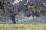 Oak trees in the rain