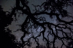 Holm oak at night