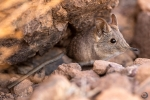North African elephant shrew <i> (Elephantulus roseta)</i>