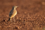 Greater hoopoe-lark <i> (Alaemon alaudipes)</i>