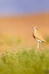 Cream-colored courser <i> (Cursorius cursor) </i>
