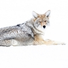 The coyote <I>(Canis latrans)</i>