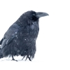 Common Raven <i>(Corvus corax)</i>