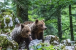 Gallery: Brown bear in European forests