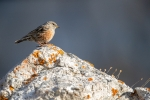 Alpine accentor <i>(Prunella collaris)</i>